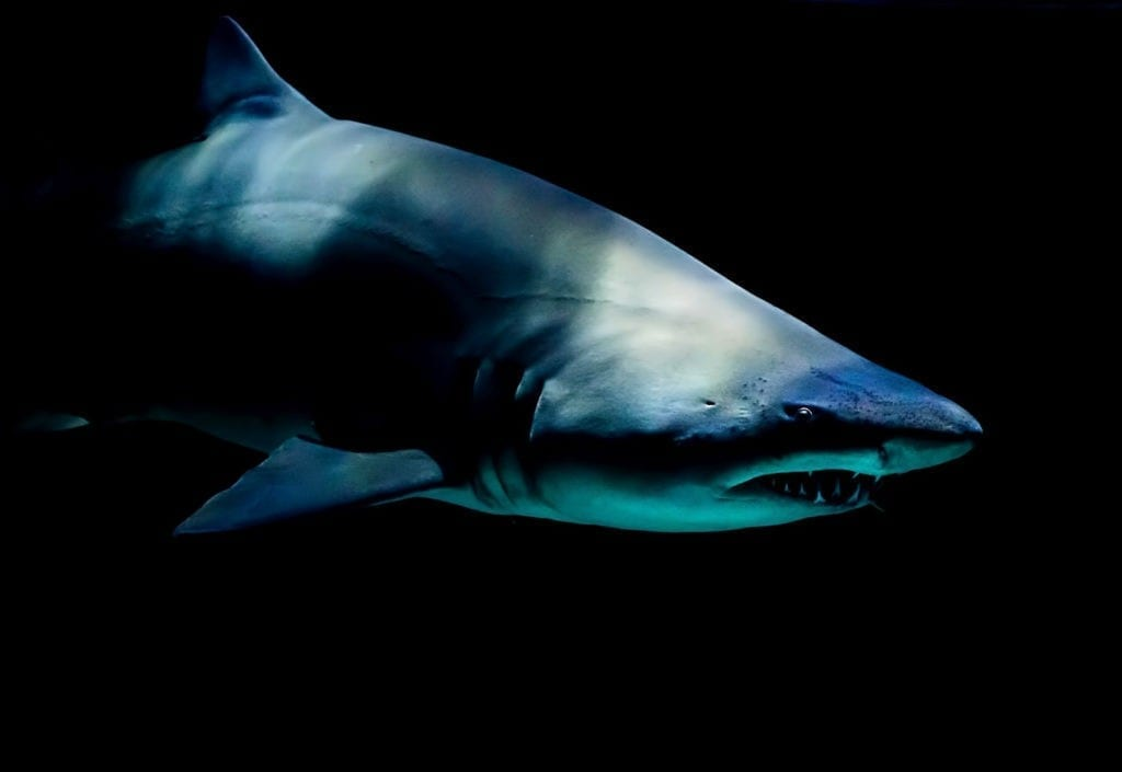 shark totem meaning