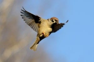 sparrow meaning