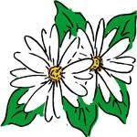 daisies as solstice symbols