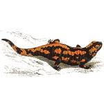 salamander solstice symbol