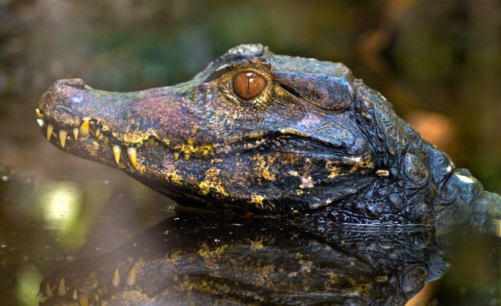 Alligator Meaning and Crocodile Meaning