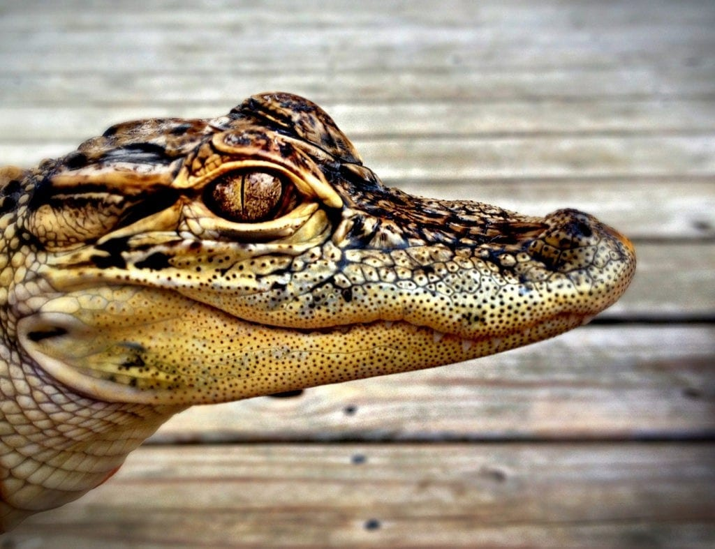 Alligator Meaning Crocodile Meaning