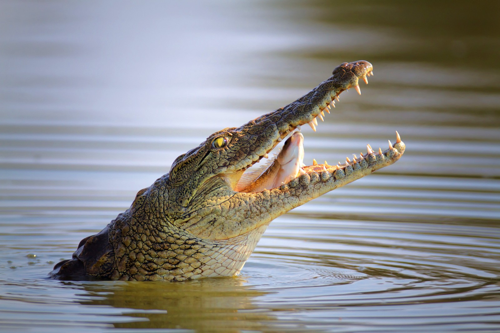 Symbolic Alligator Meaning and Crocodile Meaning