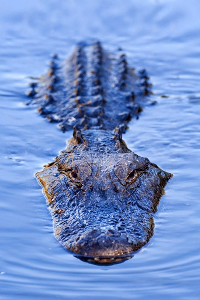 Alligator Crocodile Meaning