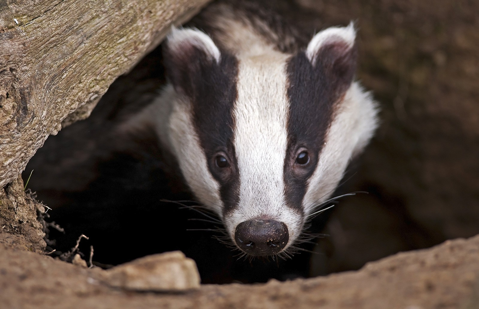 Symbolic Badger Meaning for Tattoo Ideas