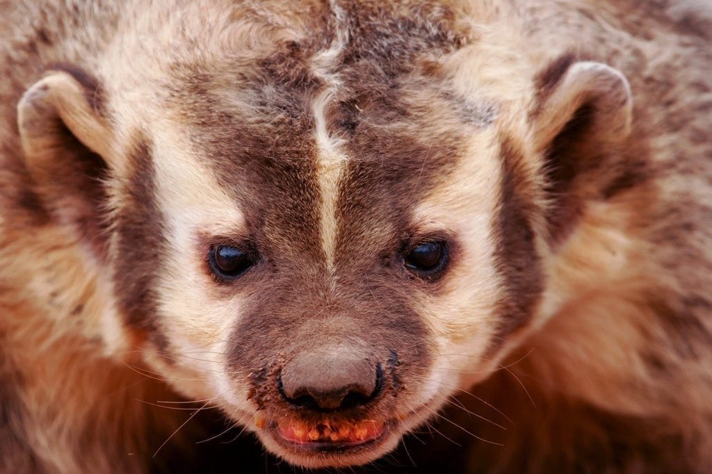 Badger Meaning