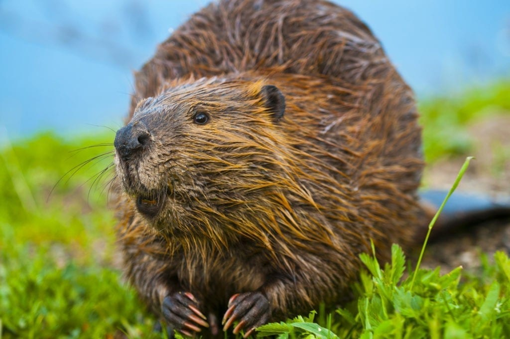 Beaver Meaning