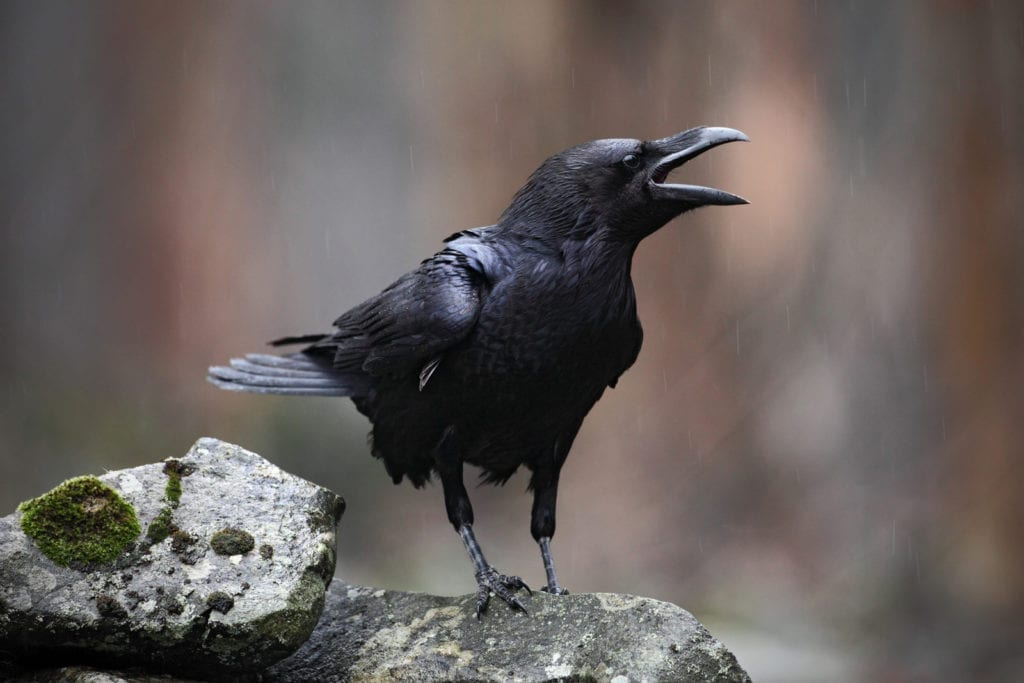 meaning of black birds