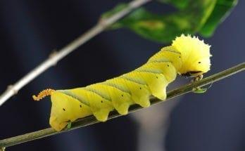 Caterpillar Meaning