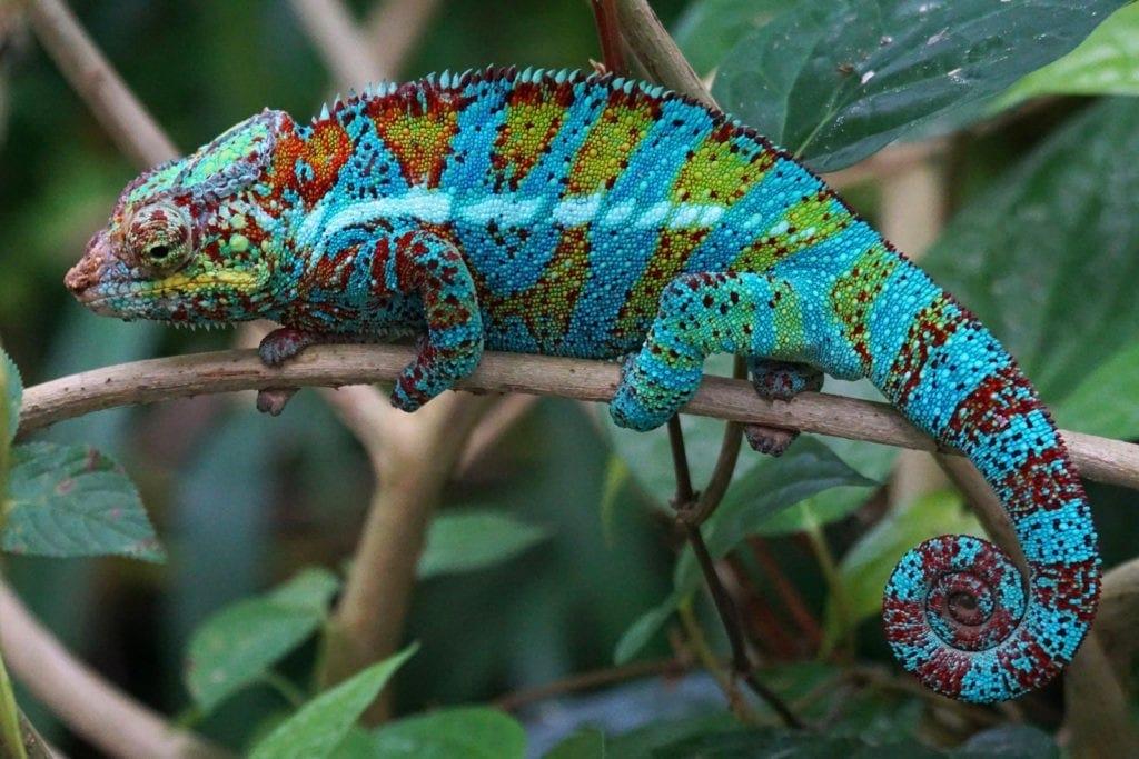 Chameleon Meaning