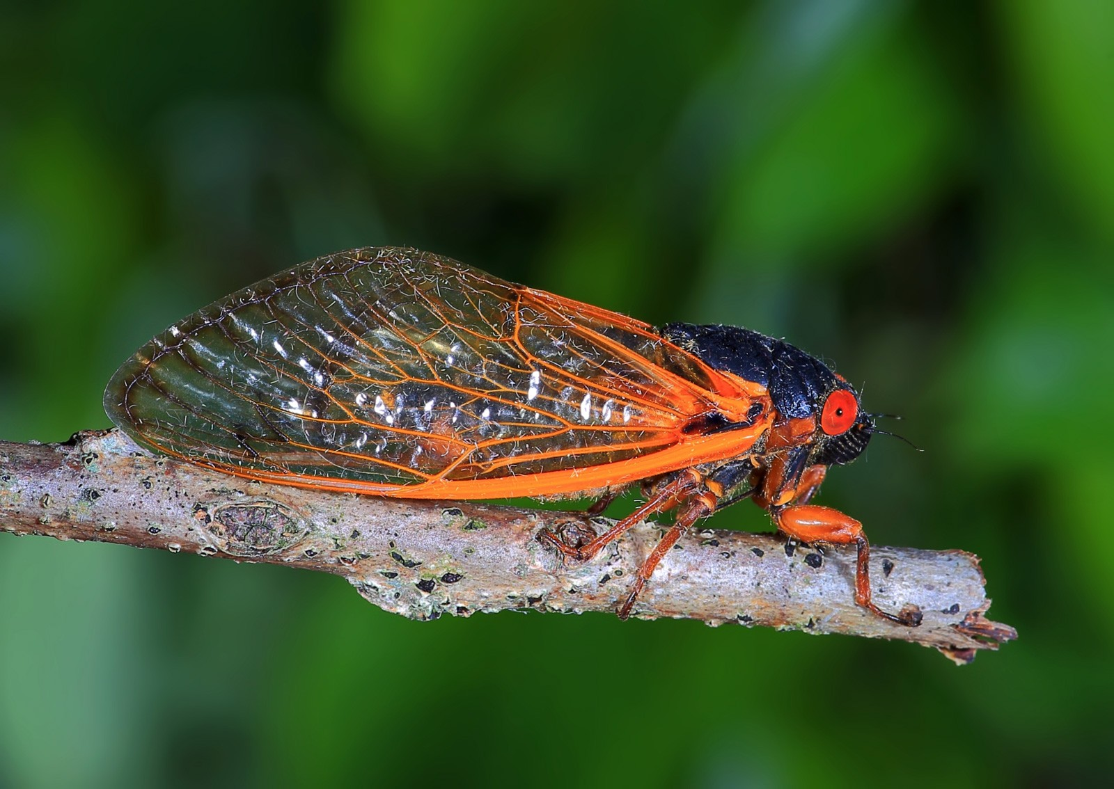 Flying Into Symbolic Cicada Meaning On Whats Your Sign