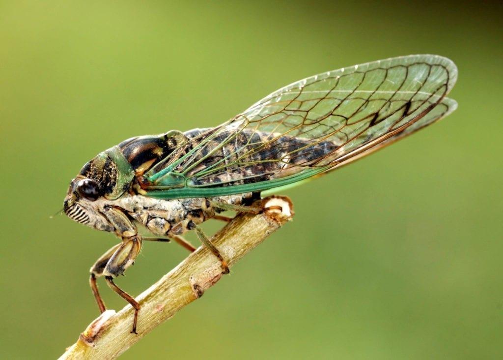 symbolic cicada meaning