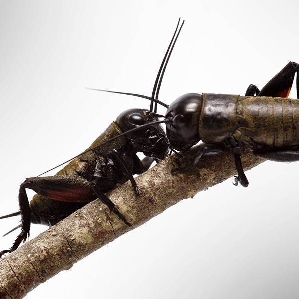 symbolic meaning of crickets