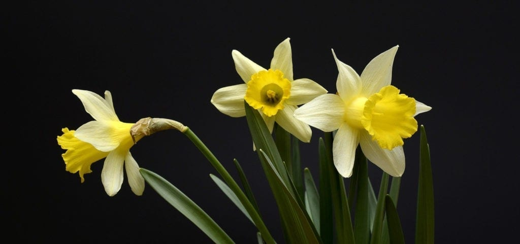 Daffodil Meanings