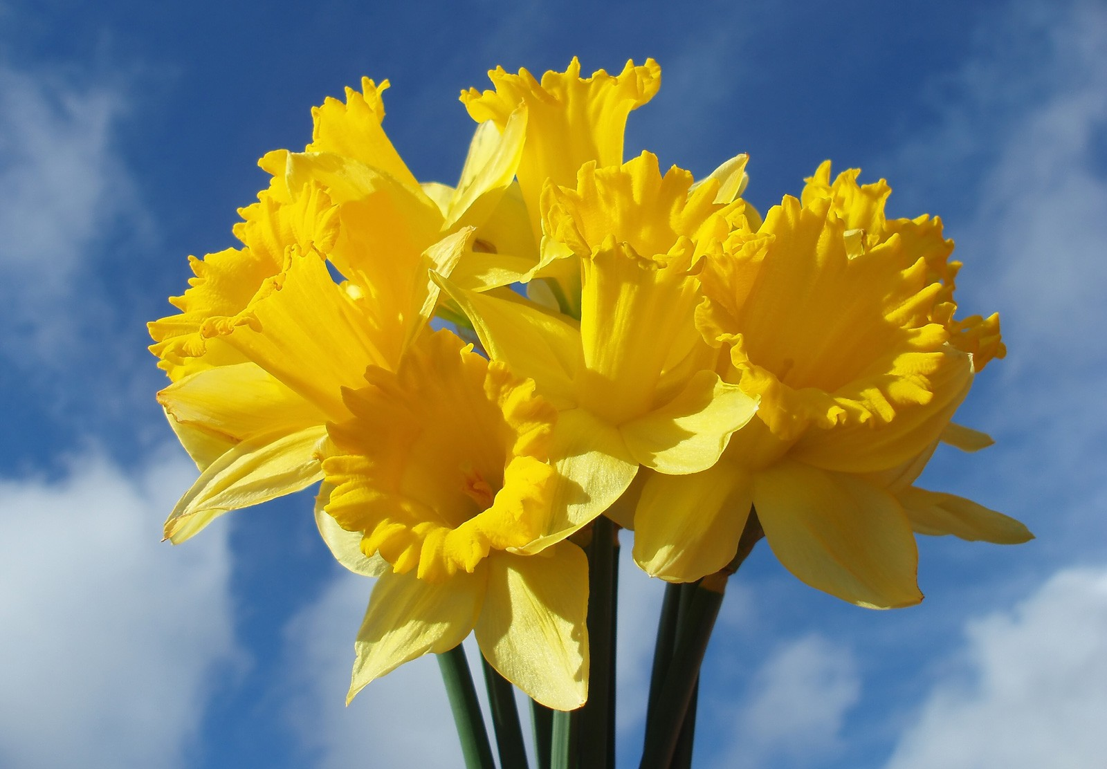 Symbolic Daffodil Meanings