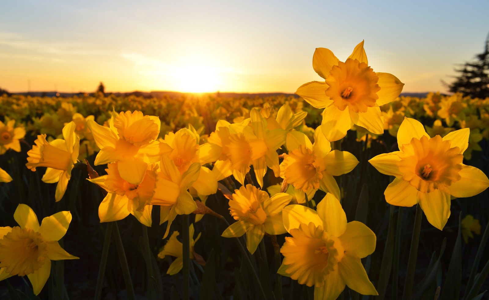 daffodil - photo #48
