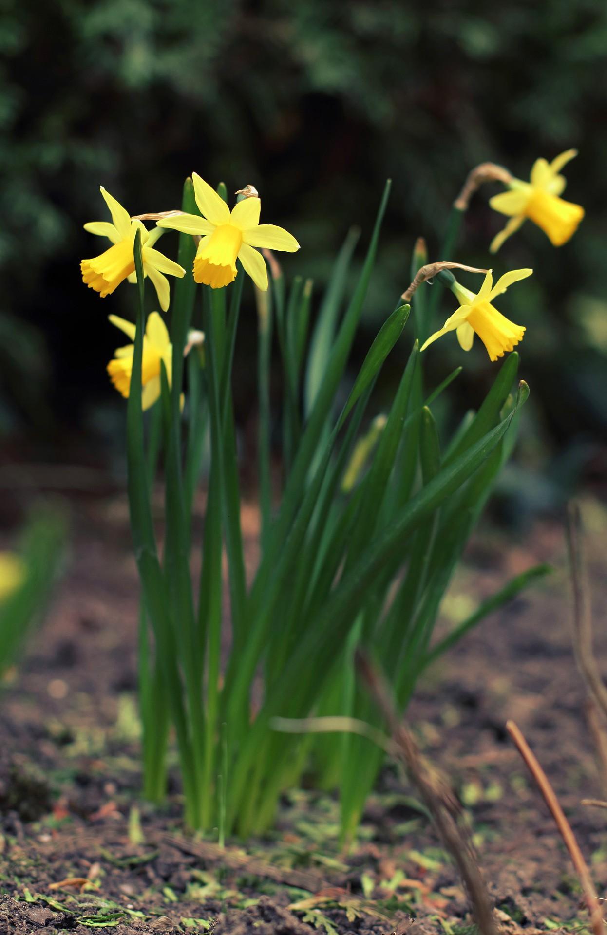 daffodil - photo #43