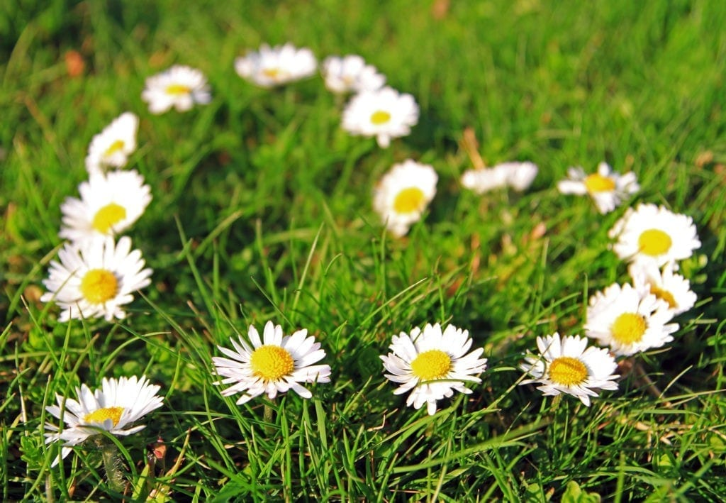 symbolic meaning of daisies
