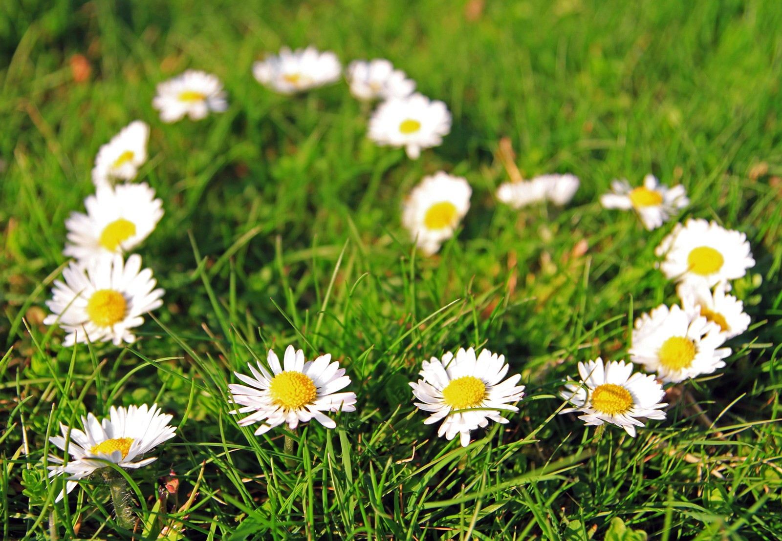 Symbolic meaning of the daisy on whats your sign i hope these tidbits about the symbolic meaning of daisy offers you a new perspective on this delightful little flower who knew it could be such a powerful izmirmasajfo Image collections