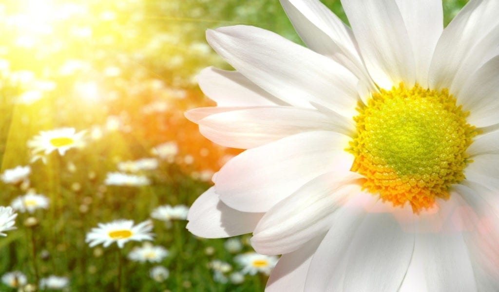 daisy meaning and symbolic meaning of daisies