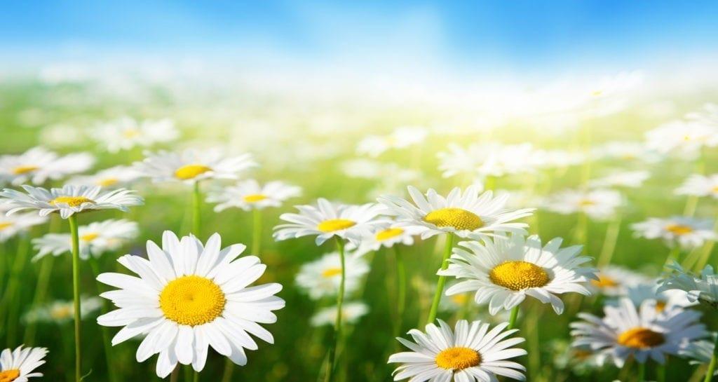 symbolic meaning of daisy