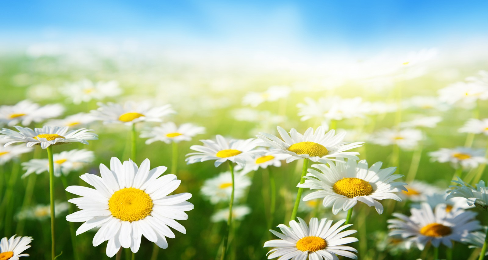 Symbolic meaning of the daisy on whats your sign the daisy also symbolizes the aspect of motherhood and childbirth in association with freya which carries on the theme of unblemished youth izmirmasajfo Image collections