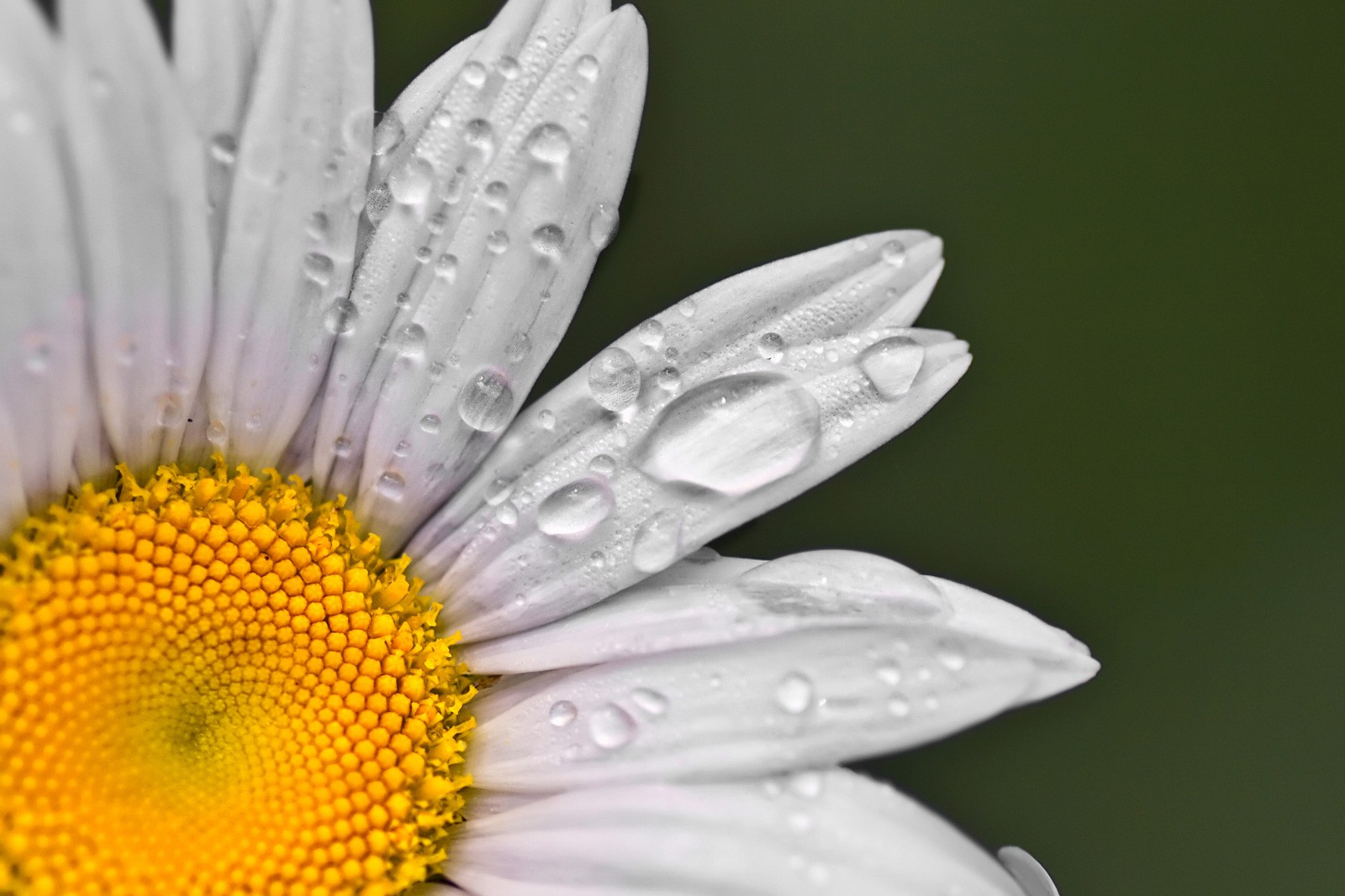 Symbolic Meaning of the Daisy