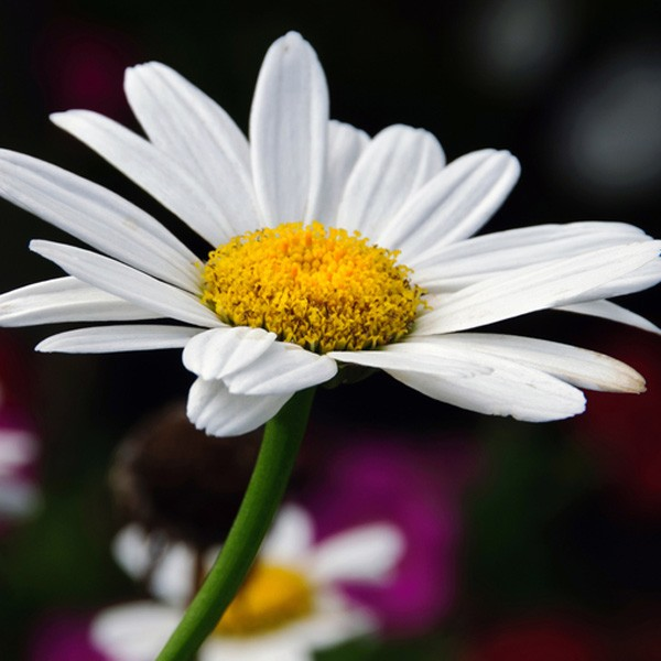daisy meaning and symbolic meaning of daisy