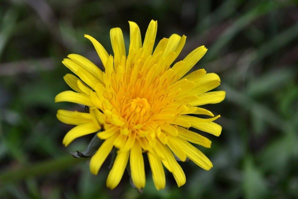 symbolic dandelion meaning