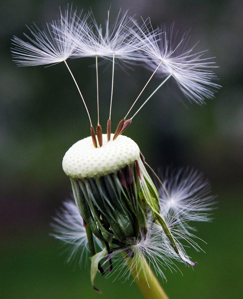 symbolic dandelion meanings