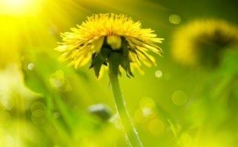 Dandelion Meanings