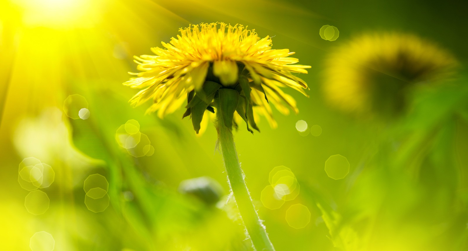 Sassy Symbolic Dandelion Meanings On Whats Your Sign