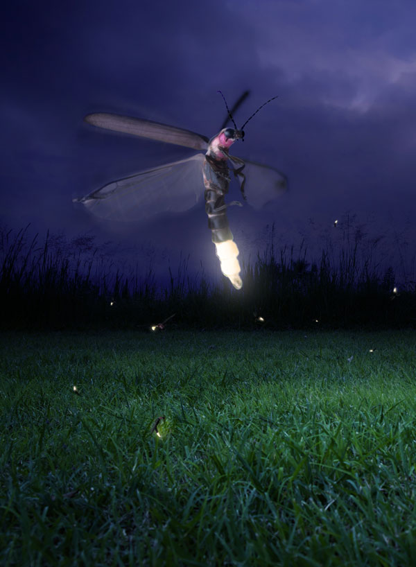 meaning of the firefly