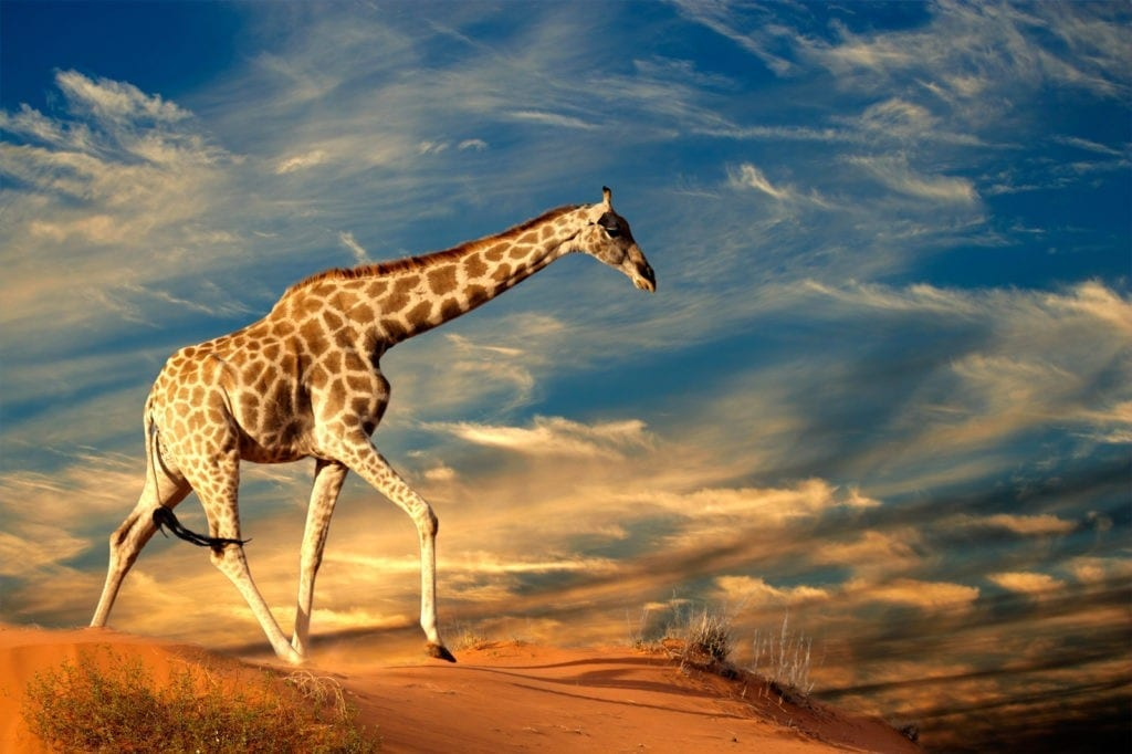 meaning of the giraffe