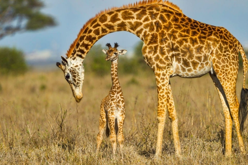 giraffe meaning and symbolic meaning of giraffe