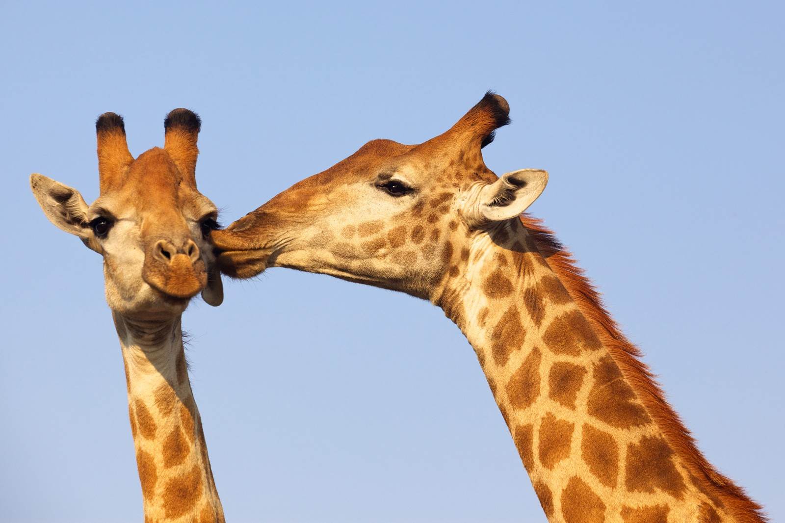 Symbolic Meaning of the Giraffe