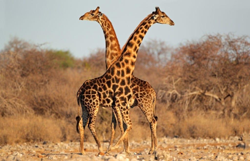 giraffe meaning
