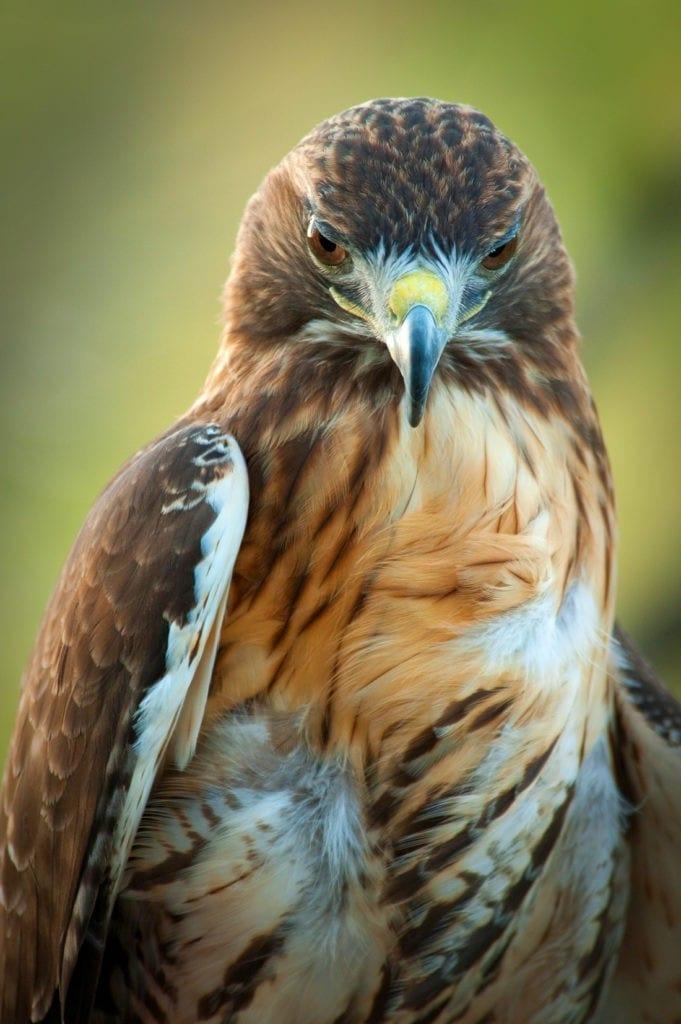 hawk meaning hawk totem