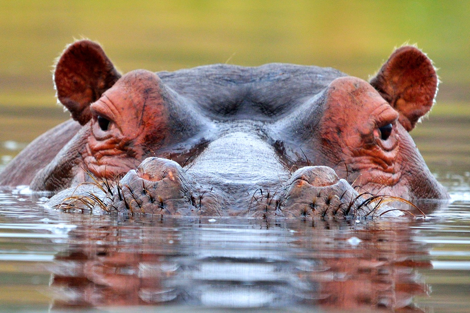 Symbolic Hippopotamus Meaning