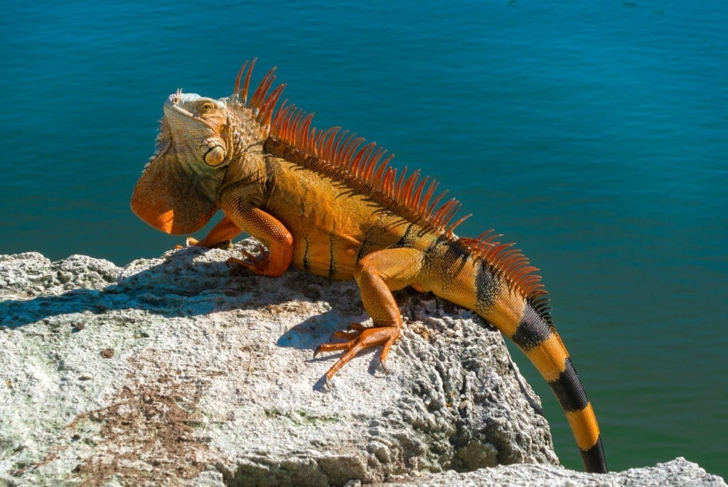 meaning of iguana