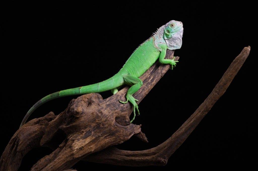 symbolic meaning of iguana