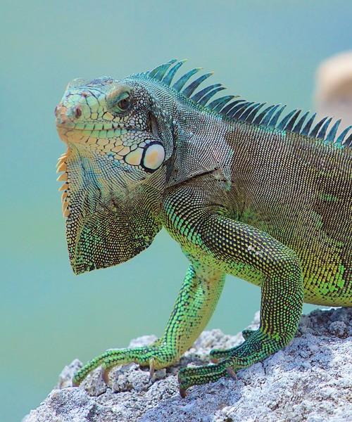 symbolic meaning of the iguana