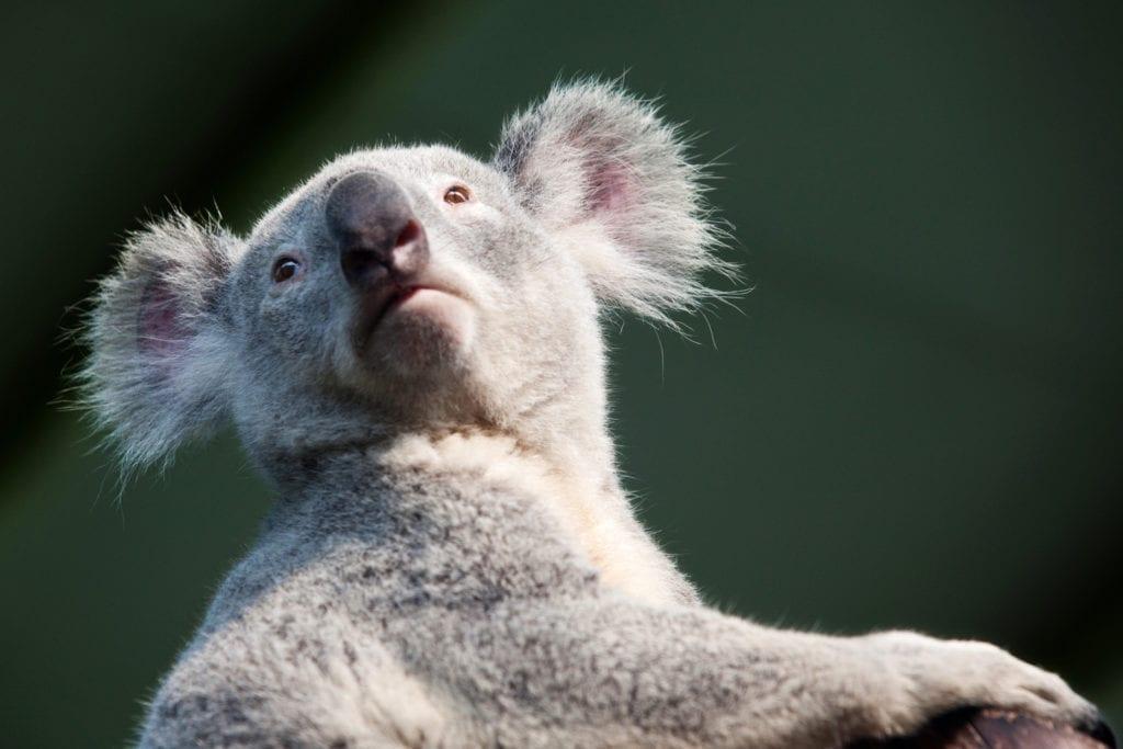 meaning of koala