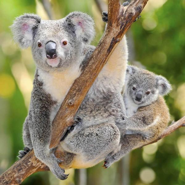 meaning of koala bears
