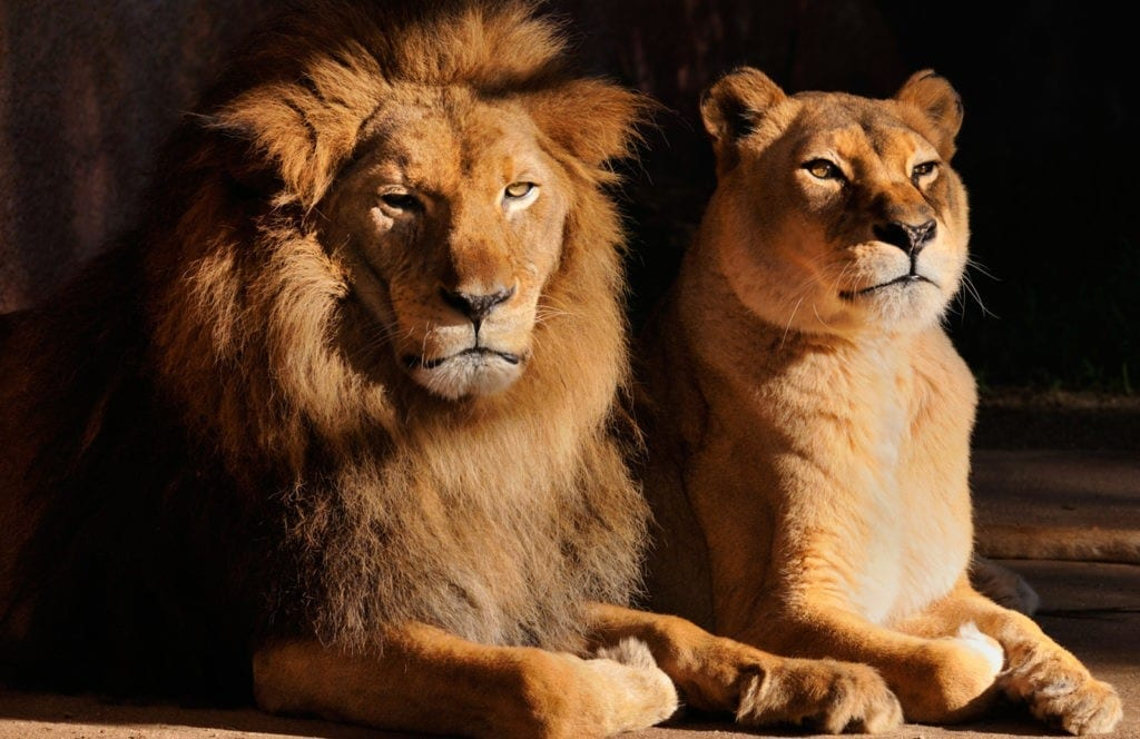 meaning of lions and lion totem meaning