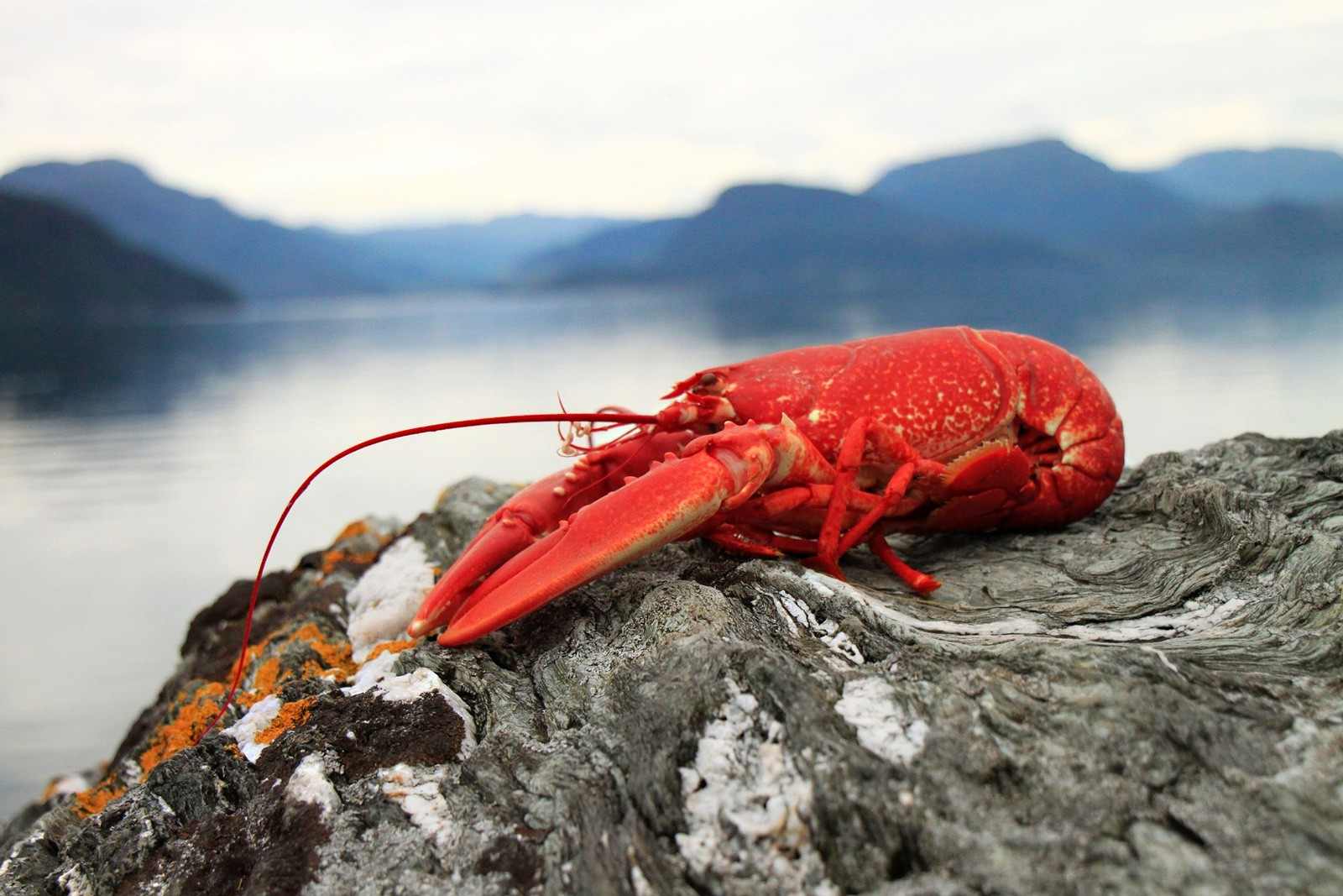 Swimming Into Symbolic Lobster Meaning On Whats Your Sign