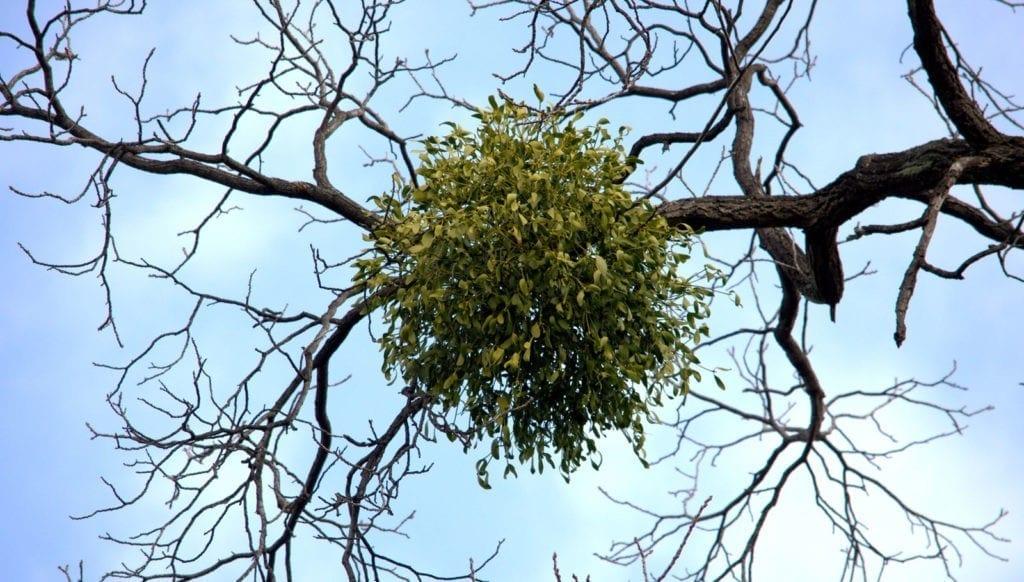 meaning of mistletoe