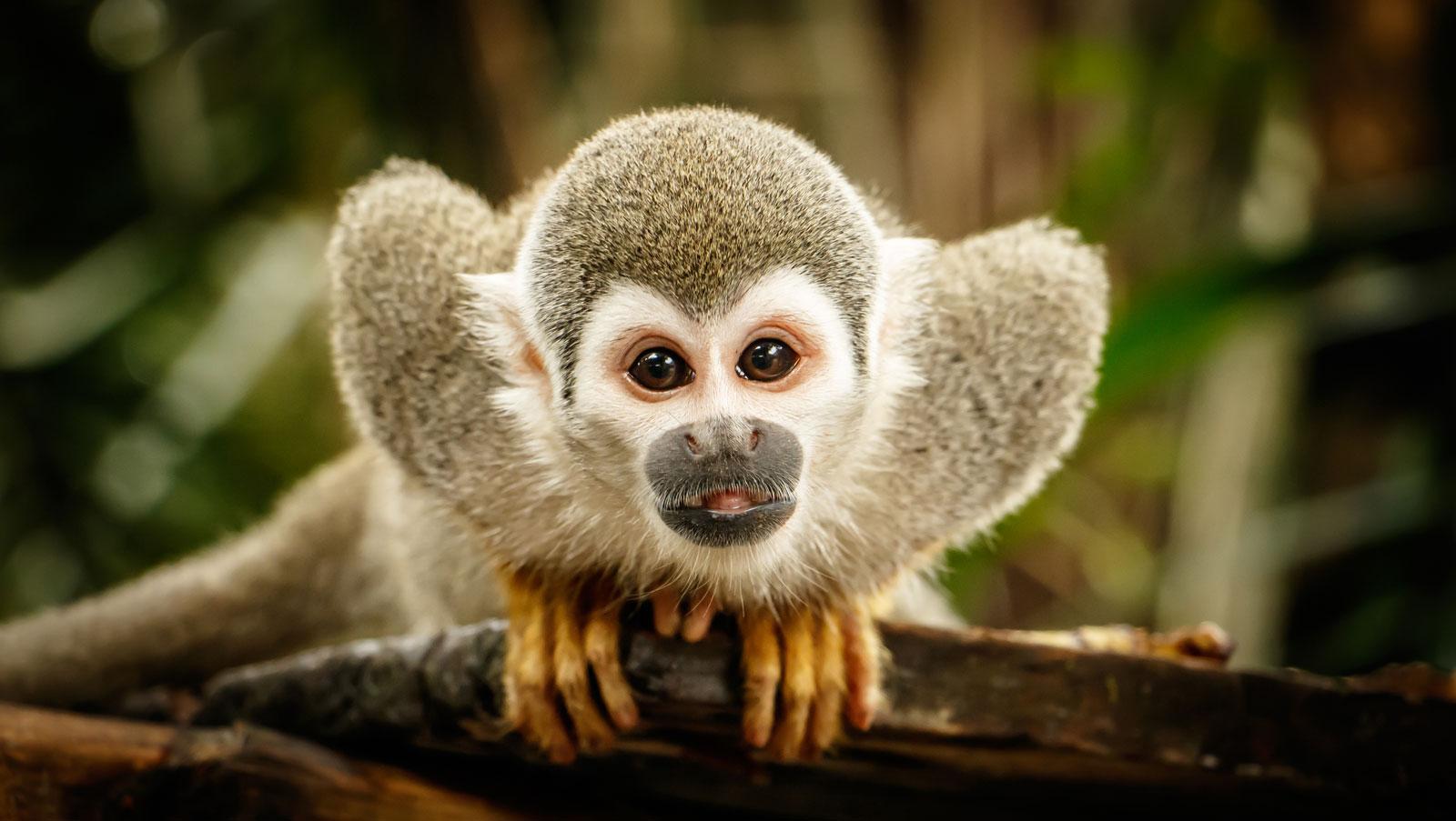 Symbolic Monkey Meaning And Monkey Totem Meaning