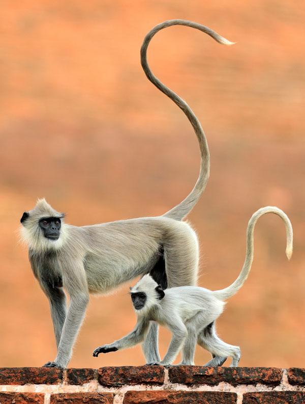 symbolic monkey meaning monkey totem