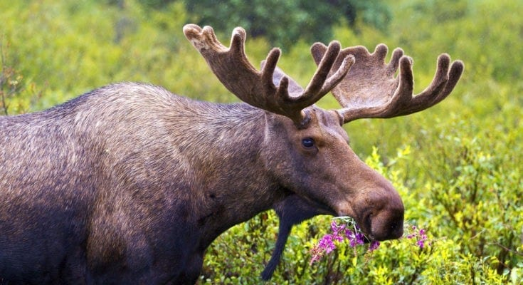 symbolic moose meaning and moose facts